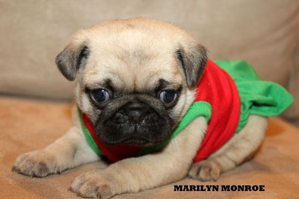 """Fairytailpuppies """"where pets are family too - MARILYN MONROE"""