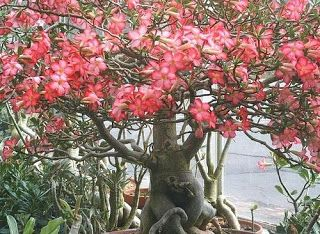 Vou postar um artigo sobre uma planta que acho linda e estou tentando cultivar: a rosa do deserto.   Comprei sementes esse fim de semana pe...
