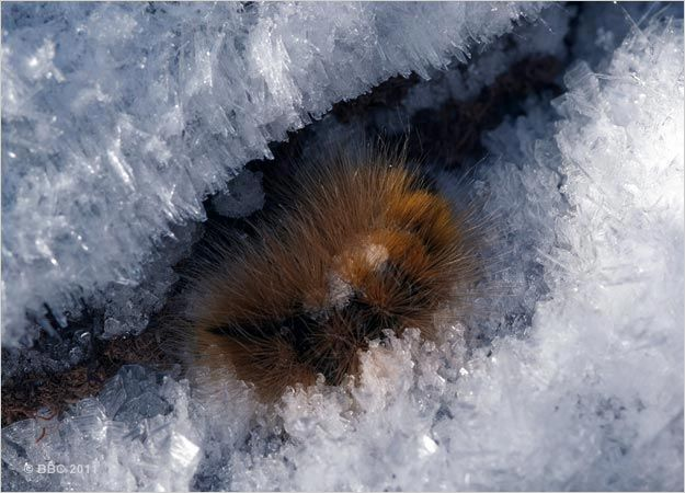 Image result for caterpillar freezing and coming back from the dead david attenborough