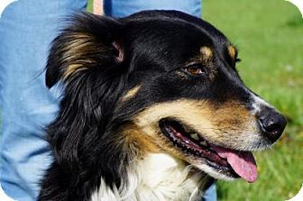 Laharpe Ks Border Collie Australian Shepherd Mix Meet Jaden A