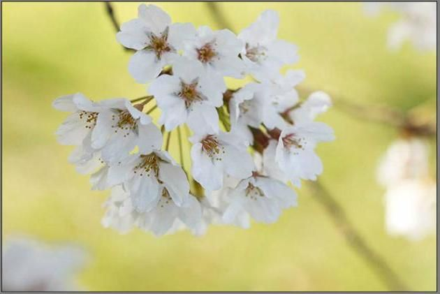 Afterglow Trees Bloom Early And Have Single Pink Tinged Flowers In Clusters Of 2 5 Types Of Cherries Bloom Blossom