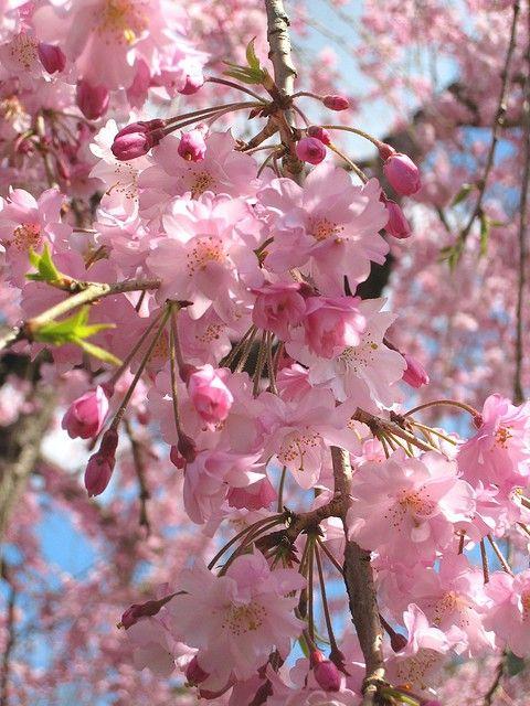 Pin De Mule Mell En Sigh Flor De Cerezo Flores Rosas