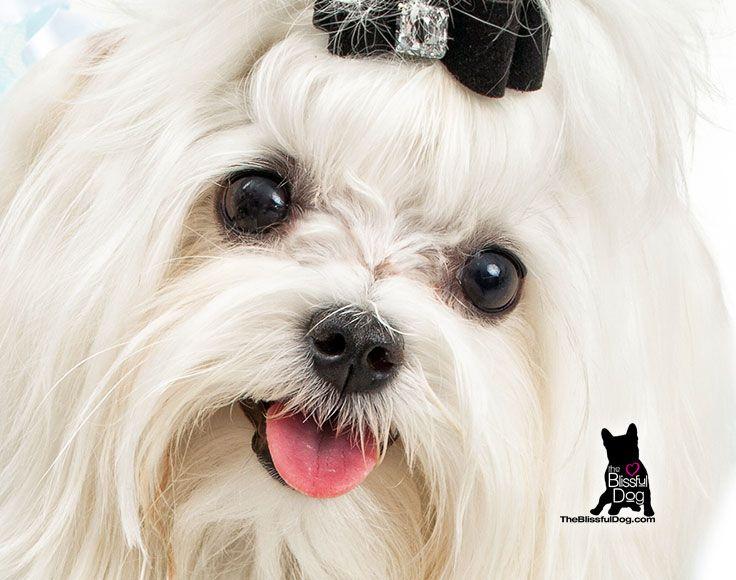 Maltese Nose Butter Dry Dog Nose Dog Nose Maltese Breed