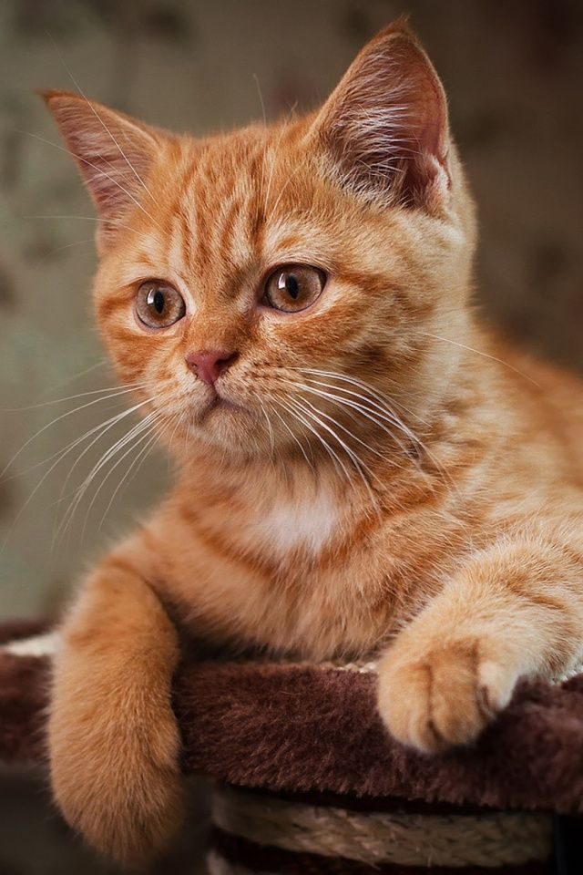 Cat Mobile Wallpaper Kittens Orange Tabby Cats Cats