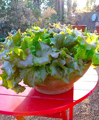 Red Sails Lettuce is an All America Selection and an ornamental addition to any edible garden