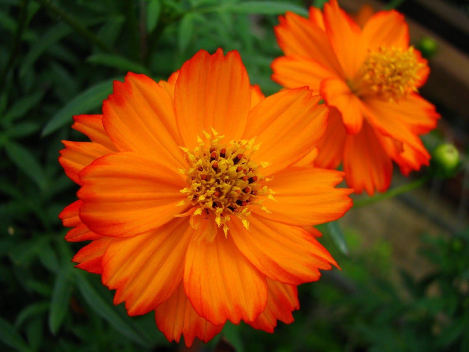 Orange Cosmos Types Of Flowers Beautiful Flowers Funeral Flowers