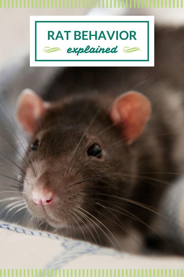 Related image floofballs being ratties pinterest rats