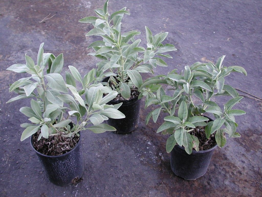 Salvia Apiana White Sage White Sage Smudging Pinterest