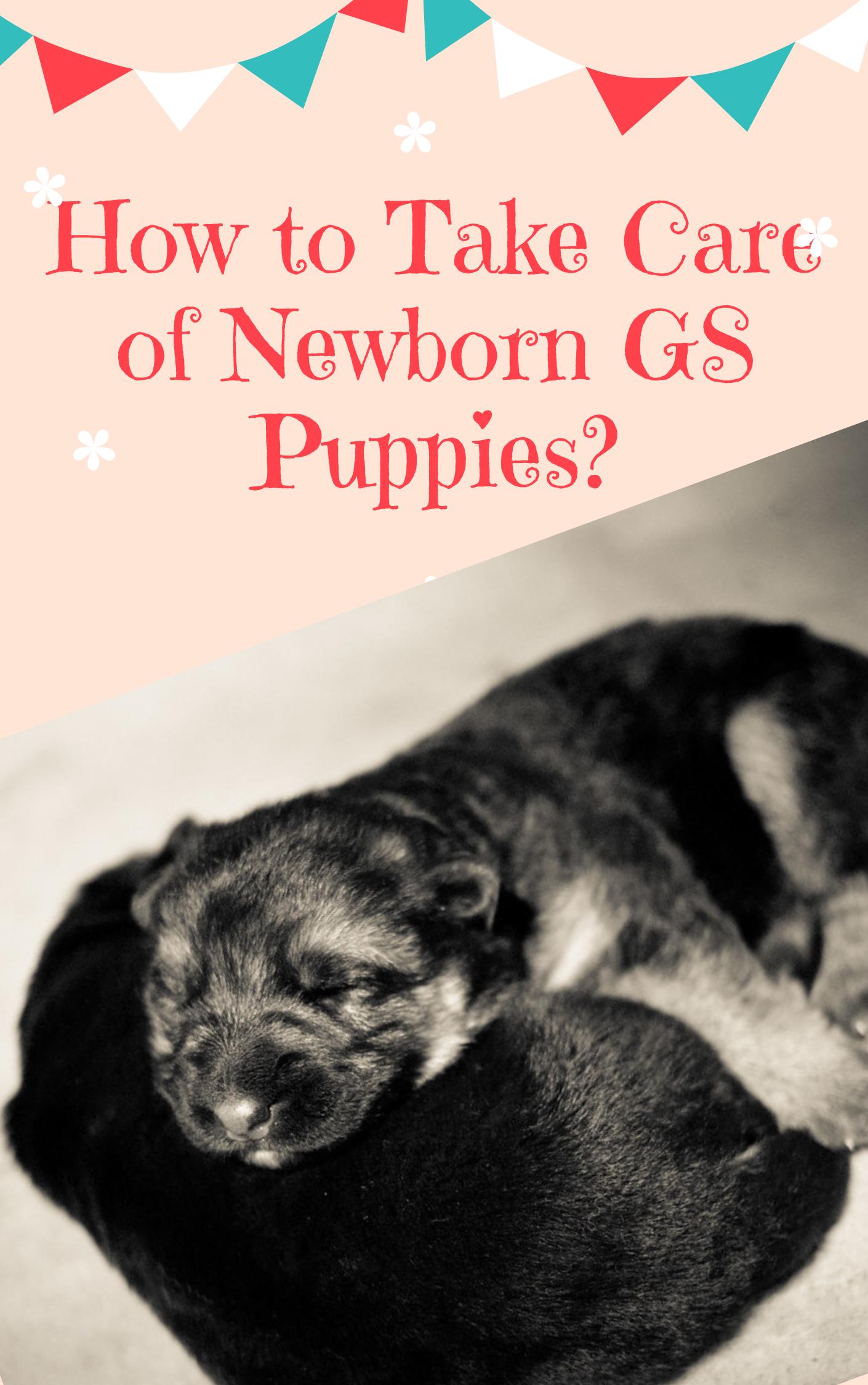 How To Take Care Of Newborn German Shepherd Puppies Shepherd Puppies German Shepherd Puppies Newborn Puppies