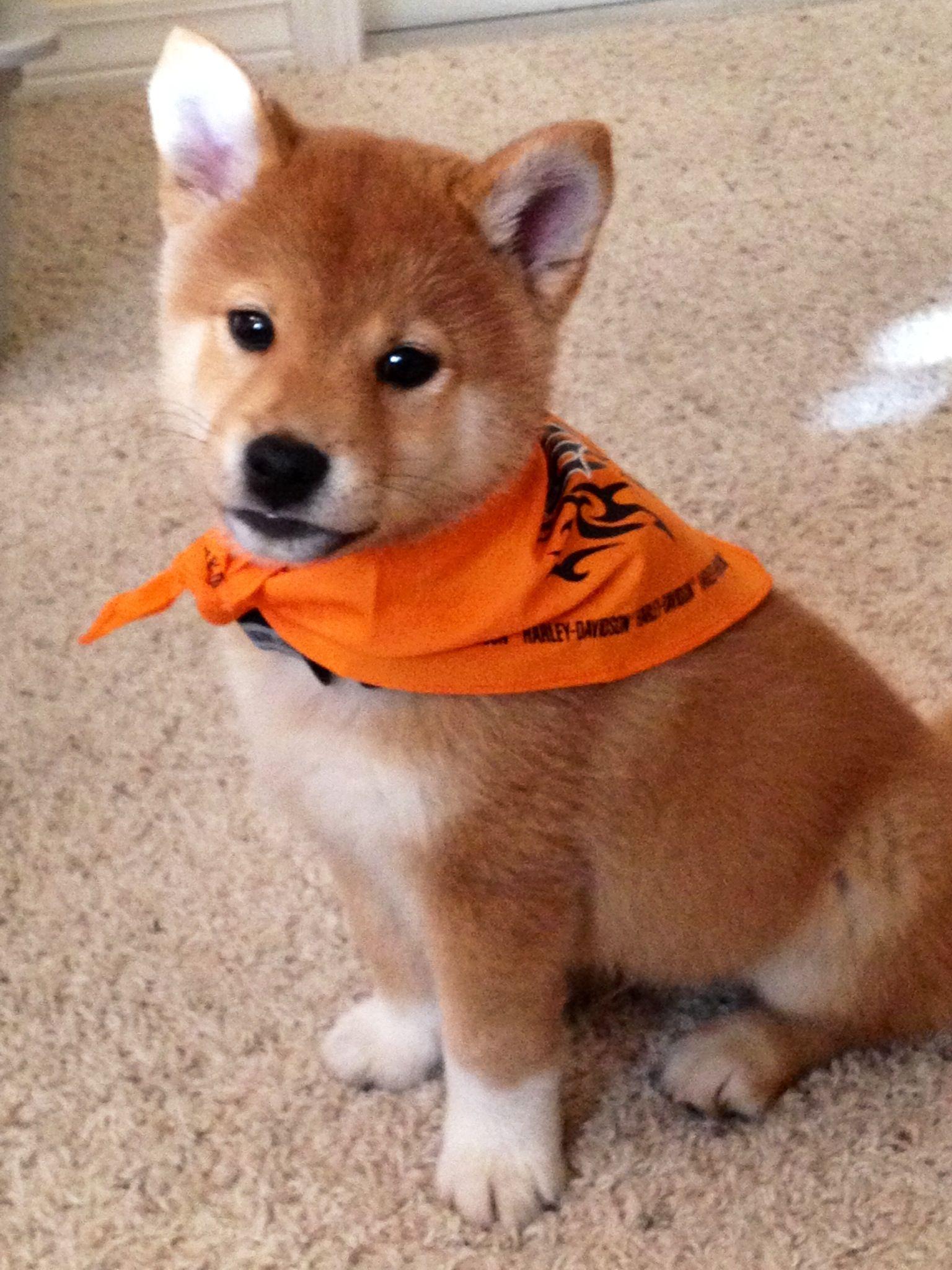 Shiba Inu Puppy Shiba Inu Dog Cute Baby Animals Cute Animals