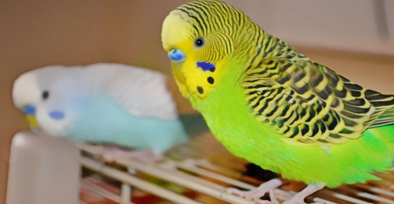 How to let your budgerigar out of the cage budgies