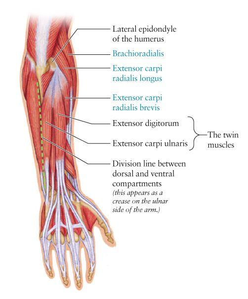 Human Anatomy for the Artist | nursing | Pinterest