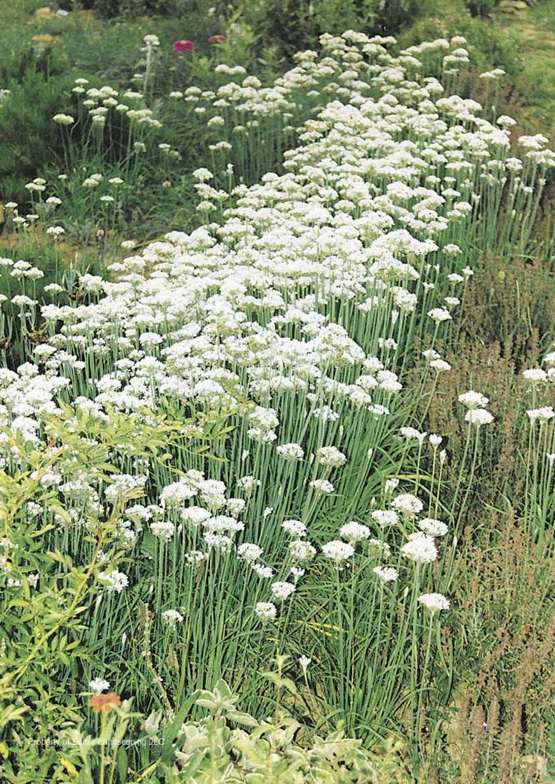 Garlic chives garlic chives are an attractive perennial with edible garlic chives garlic chives are an attractive perennial with edible foliage and edible flowers in august garlic chives are among the most versatile of all mightylinksfo