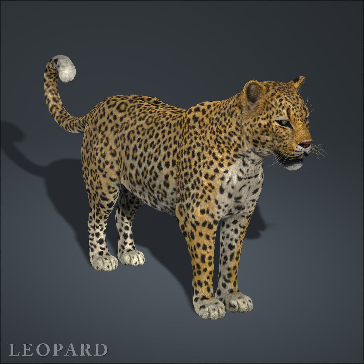 High Detailed Photorealistic Leopard, completely UVmapped