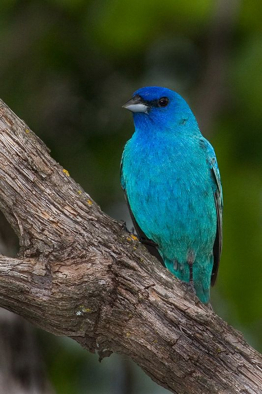 Indigo bunting - Digital Grin Photography Forum