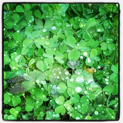 Wet clover for the Irish in all of us. Good morning!