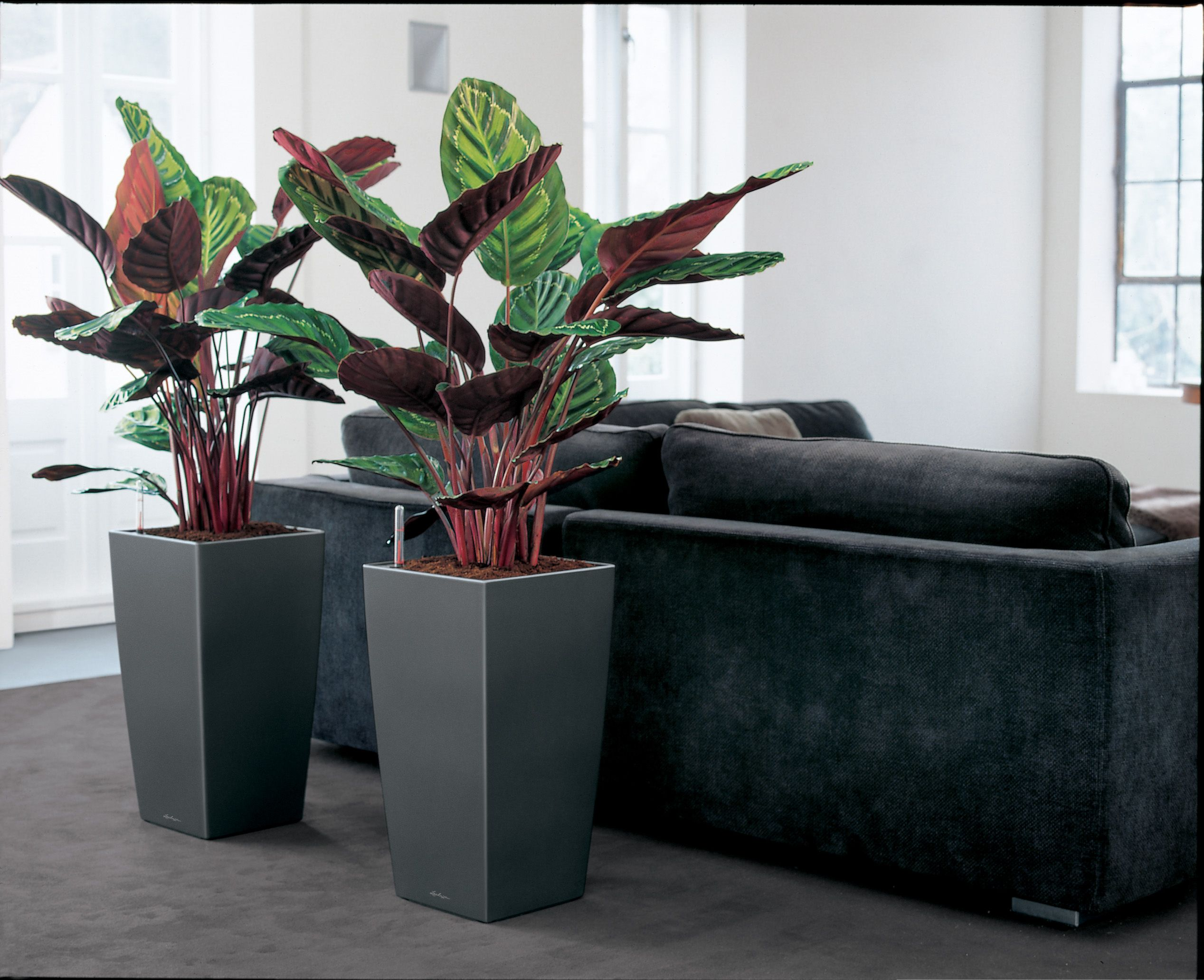 un calathea dans un pot lechuza plantes vertes xxl. Black Bedroom Furniture Sets. Home Design Ideas
