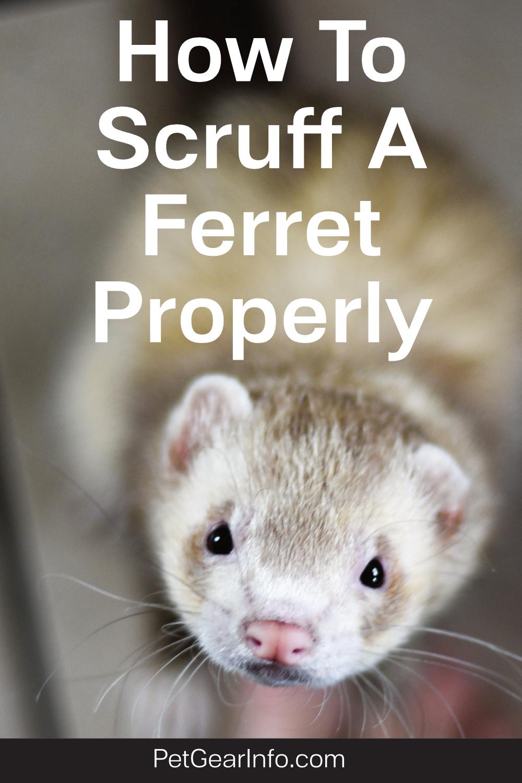 How To Scruff A Ferret Properly