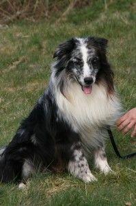 Mdr1 Faqs Australian Shepherd Aussie Dogs Australian Shepherd Dogs