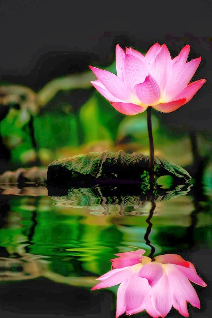 Nature Photography Reflections And The Lotus Flower Rainforest