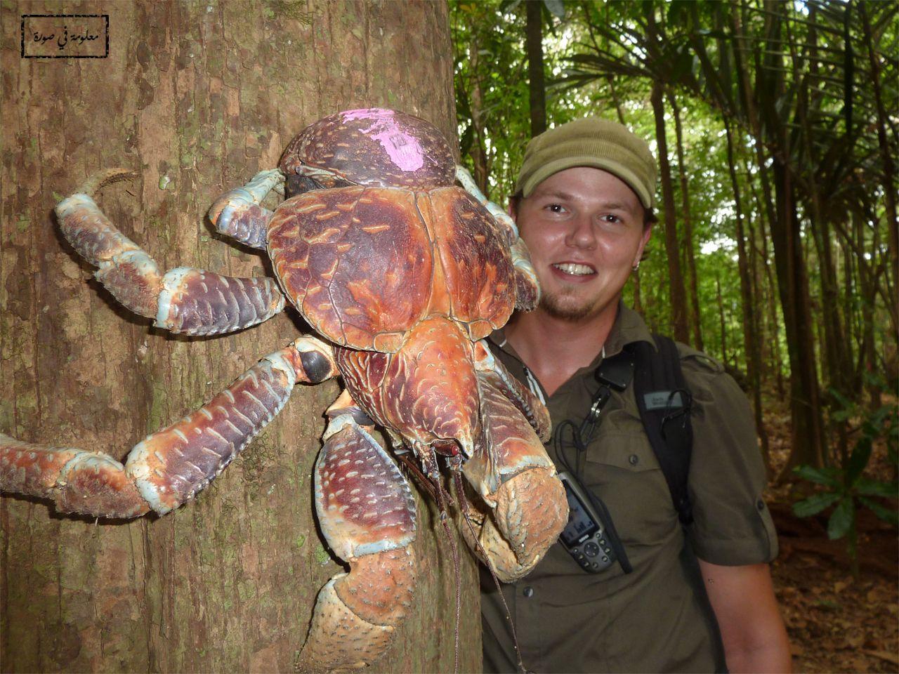 سرطان جوز الهند هو ليس فقط أكبر أنواع السرطانات الموجودة على الأرض بل هو أيضا أكبر أنواع مفصليات الأرجل البر Coconut Crab Weird Animals Wild Animals Pictures