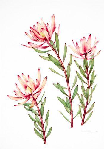 Australian Native Flowers Watercolour Watercolor Flowers Flower Painting Botanical Drawings