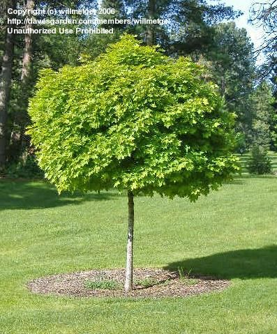globe norway maple 39 globosum 39 acer platanoides must have plants pinterest acer front. Black Bedroom Furniture Sets. Home Design Ideas