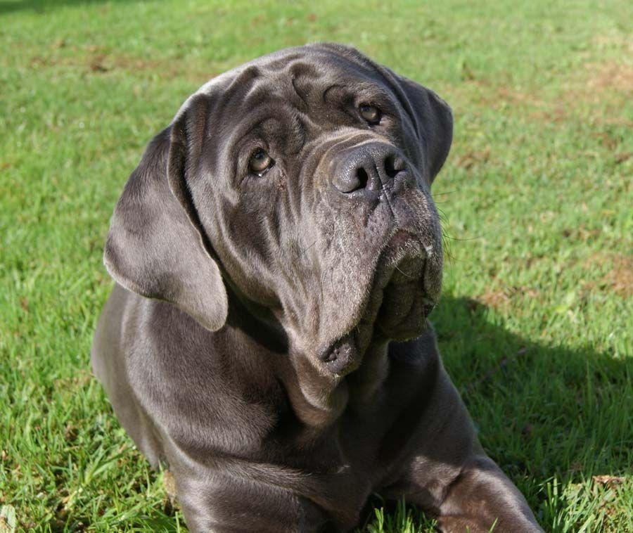 Jack The Mastador And Sophia The Neapolitan Mastiff Giant Dog Breeds Mastiff Mix Mastiff Breeds