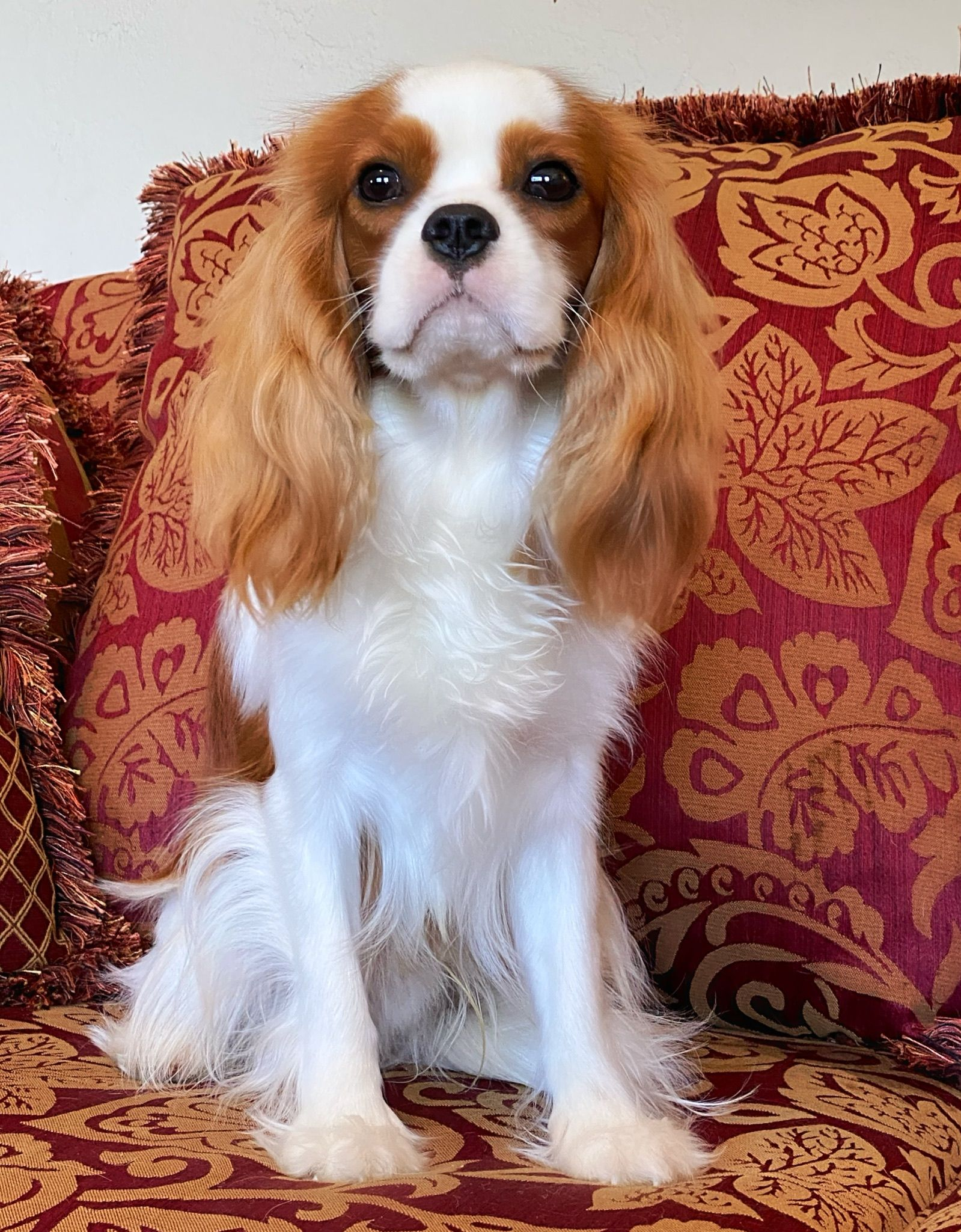 Pin By World Class Cavaliers On Cavalier King Charles Spaniel Breeder In 2020 King Charles Spaniel Cavalier King Charles King Charles Cavalier Spaniel Puppy