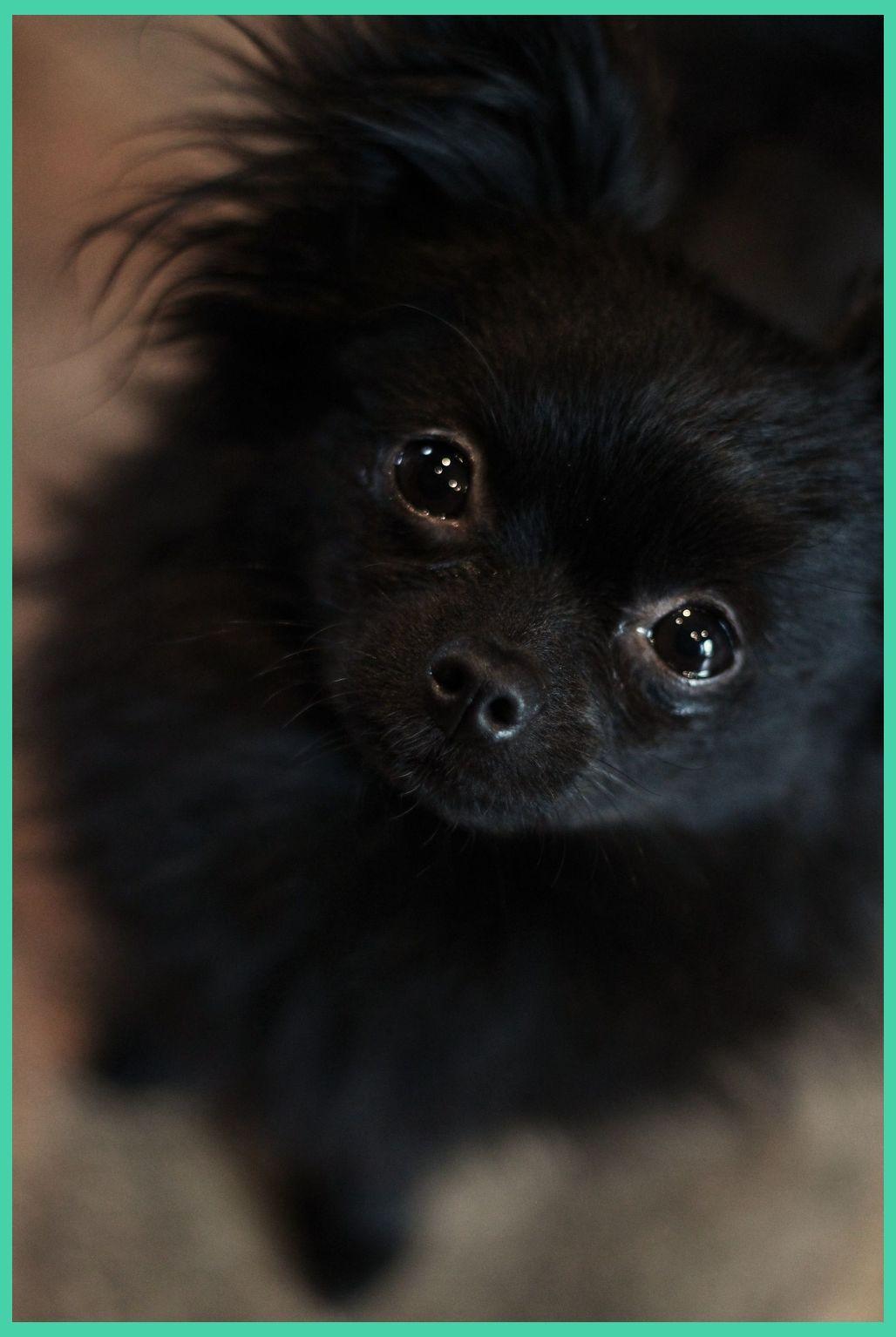 Pin On Pomchi Puppies