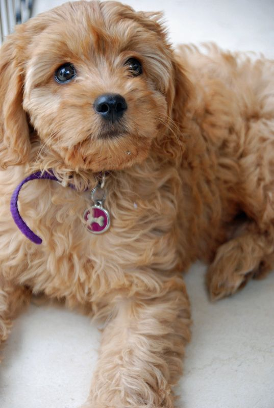 Latte toy cavoodle Pocket Puppies in their New Homes