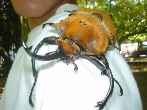 peble:  malformalady:  Rhinoceros beetle hitching a ride in Costa Rica. These harmless beetles reach the size of 6.75 inches (170 mm) in length  shell puppy