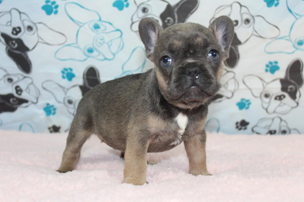 Blue Tri Sable French Bulldog Www Gaugerslittlebullies Com