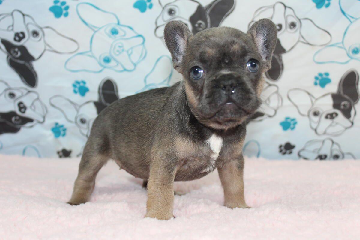 blue tri sable french bulldog www.gaugerslittlebullies