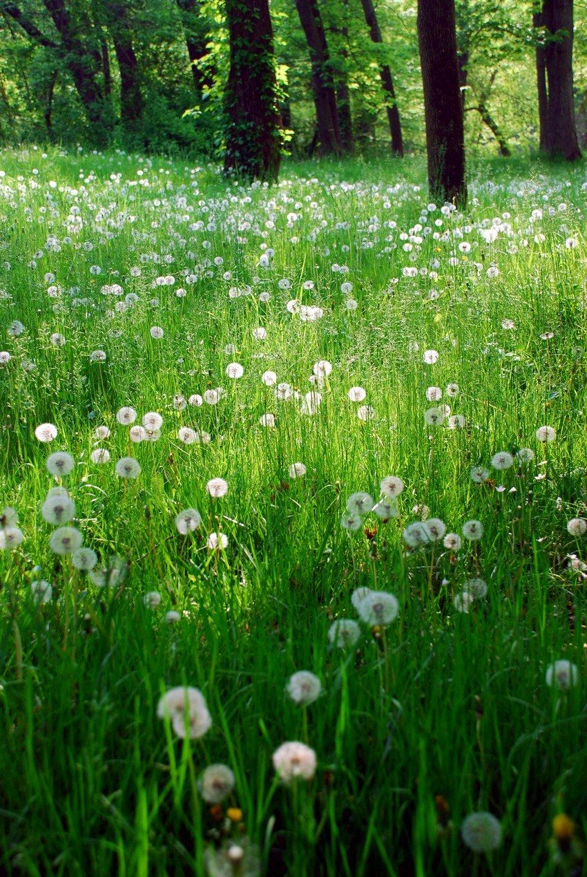 A green meadow full of dandelion seed puffs.