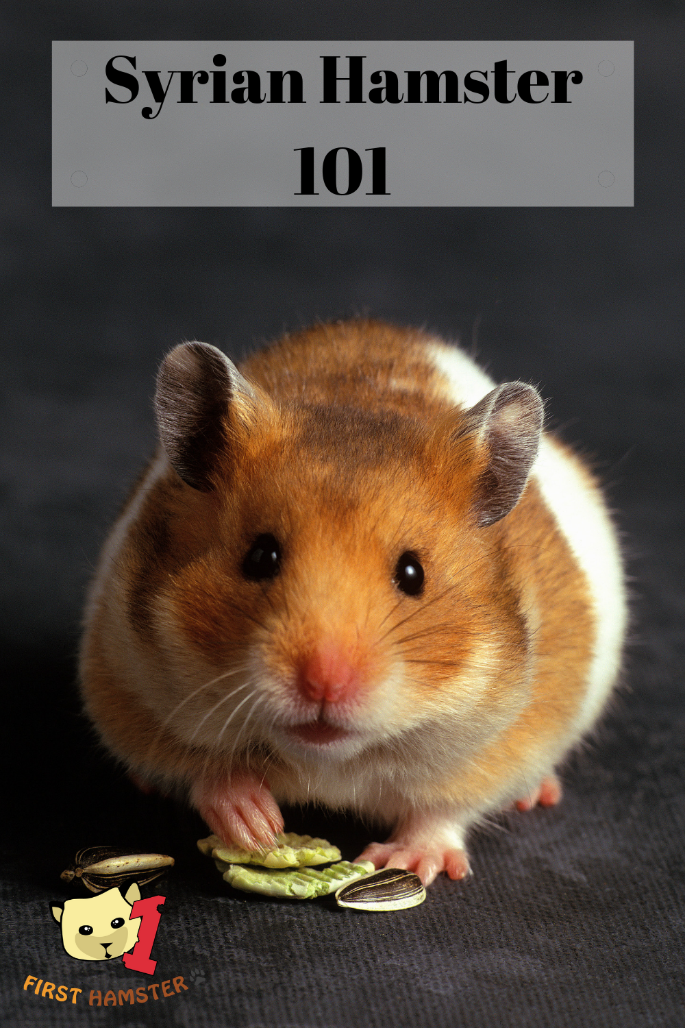 Syrian Hamster 101 Breed Info And Care Sheet Hamster Food Syrian Hamster Hamster