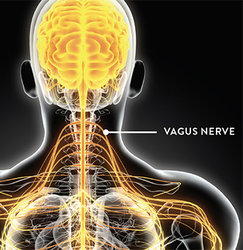 """Photo of The VAGUS nerve, the """"Commander and Chief"""" of the autonomic nervous system-promotes your fertility, gut, and health! – Pulling Down the Moon"""