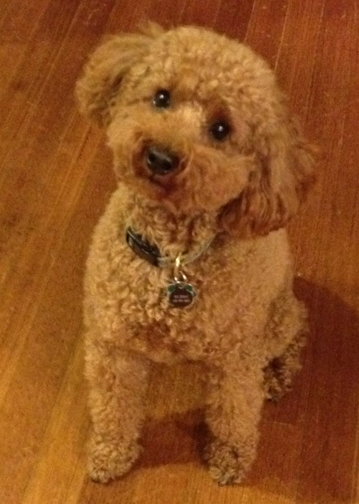 This Is My Dog Buddy He S A Apricot Miniature Poodle 3 Years