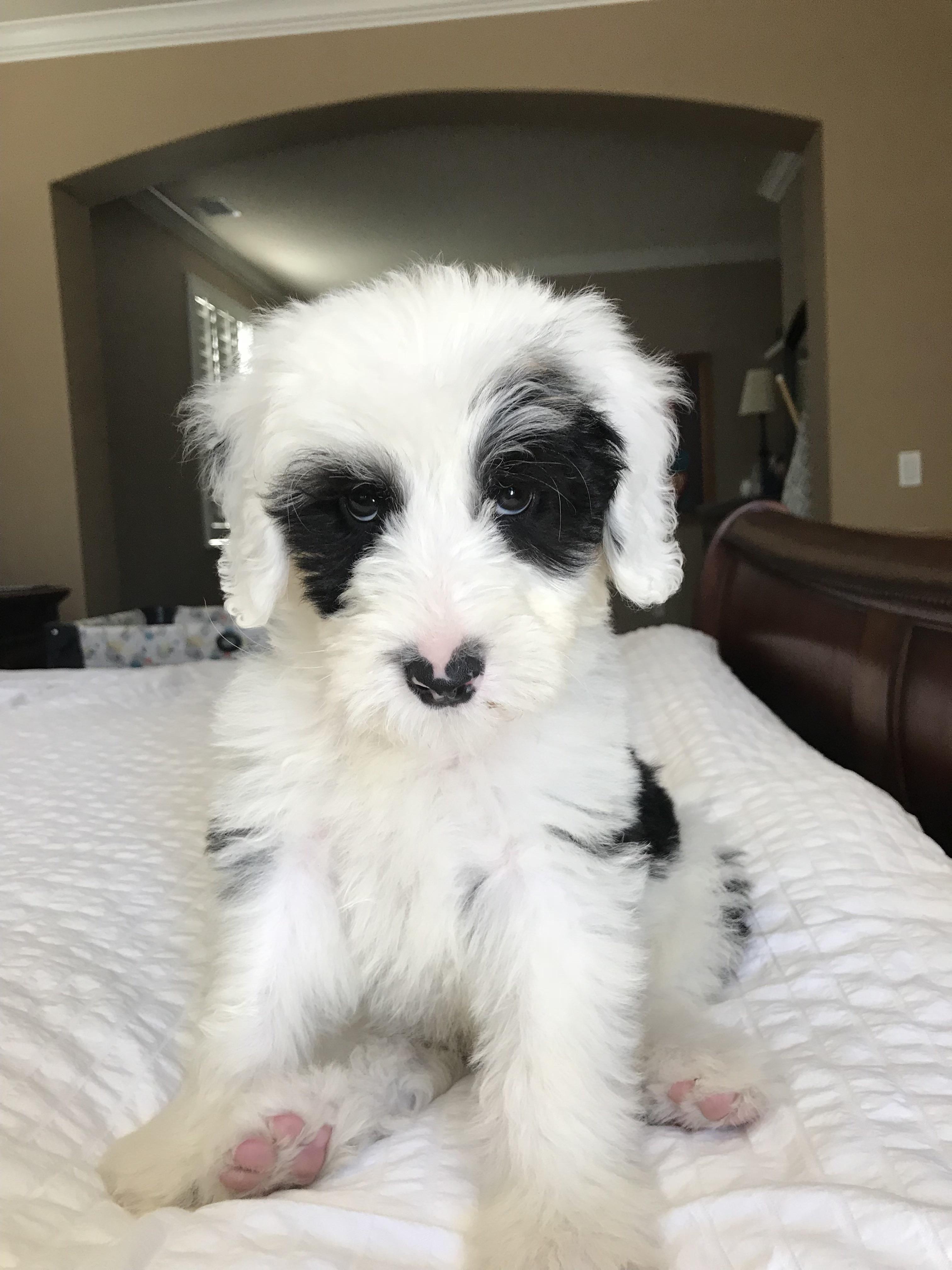 Reddit Meet Bowie The Sheepadoodle Https Ift Tt 2txvbmm Cute