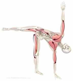 ardhachandrasana  yoga anatomy poses half moon