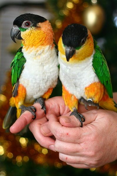 Most Colorful And Prettiest Pet Birds in The World    Black-headed Parrot (Pionites melanocephalus)