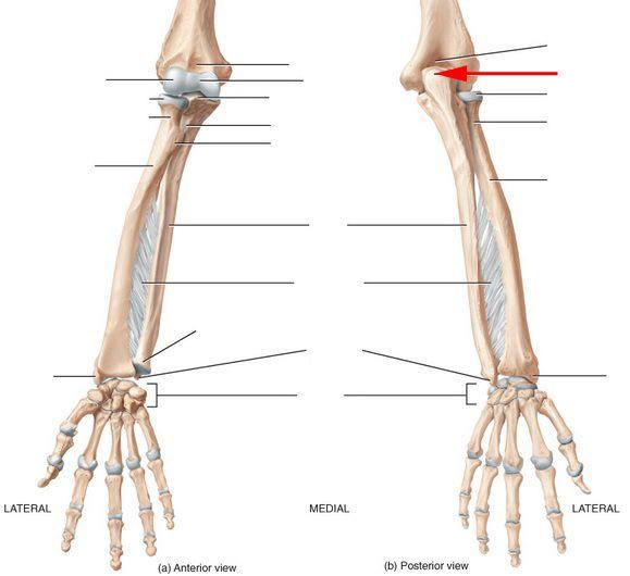 Ulna Radius Wrist And Hand Skeletal Anatomy Flashcards By Proprofs