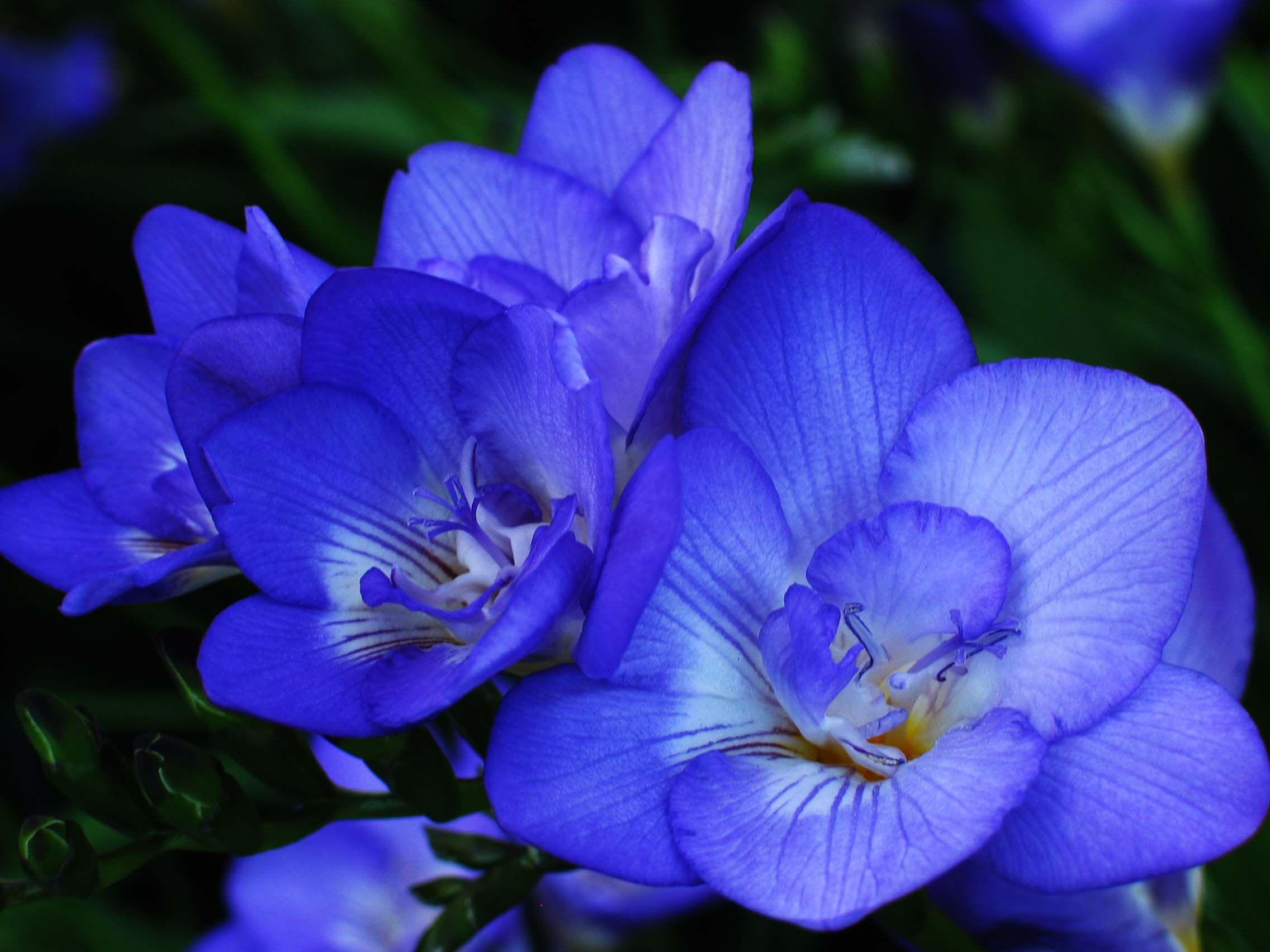 Blue day lilies c bill tietjen photo art day