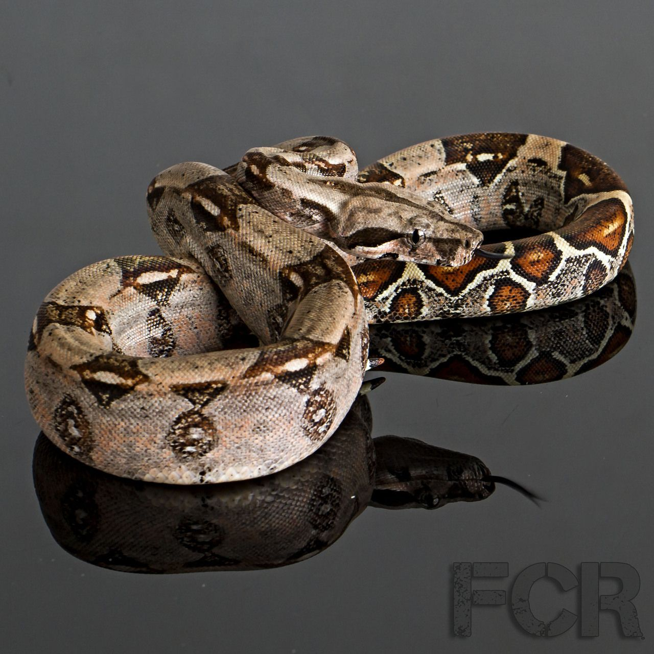 Columbian Red Tail Boa A Tattoo Pictures | Animals | Red