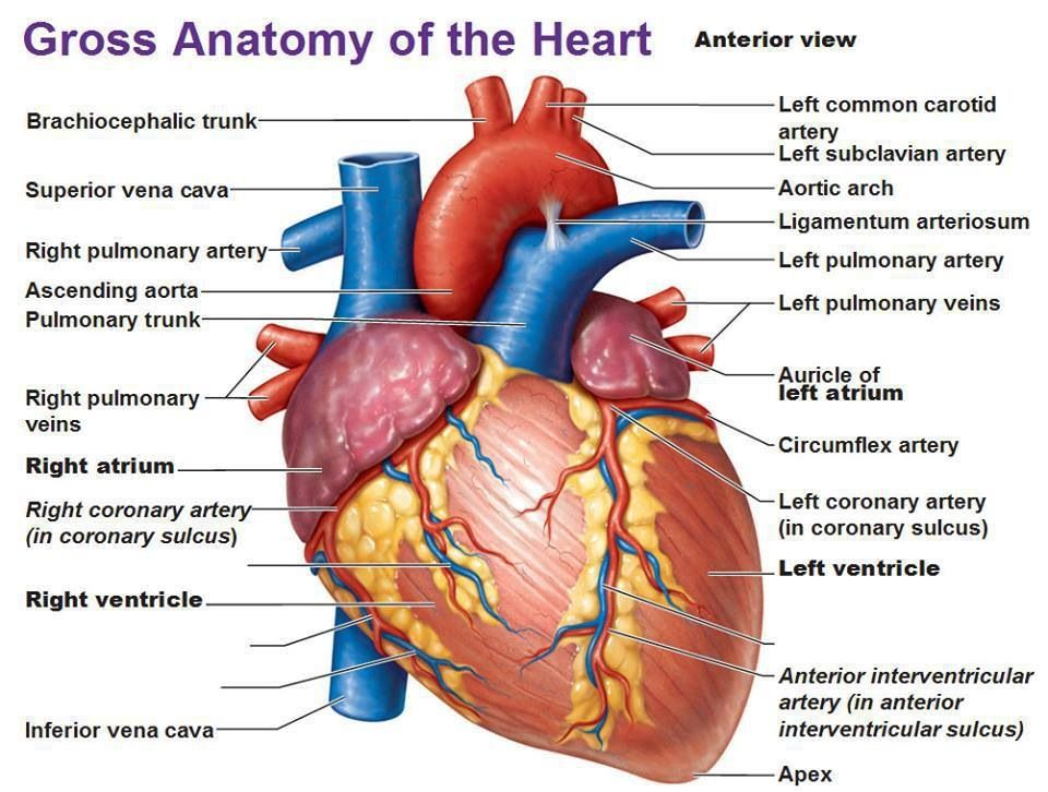 Asombroso La Anatomía Del Corazón Externo Bosquejo - Imágenes de ...