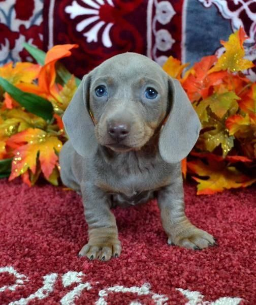 Dachshund Facts Dachshund Dachshund Dog Dachshund Puppies For