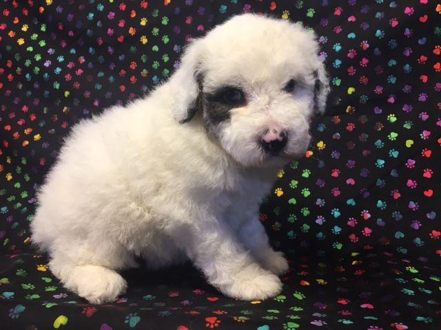 Litter Of 5 Australian Shepherd Poodle Miniature Mix Puppies For Sale In Nunn Co Adn 27896 On Puppyfi Poodle Mix Puppies Puppies For Sale Miniature Puppies