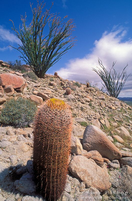 Spiny barrel cactus (Ferocactus acanthodes) and ocotillo in bloom in the Tierra Blanca Mountains, Anza-Borrego Desert State Park, California by Russ Bishop