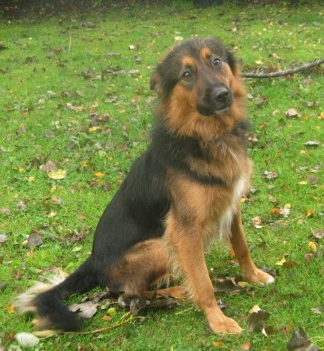 Image Result For Shepherd Collie Mix Dog Border Collie Dogs