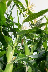 picture of corn field - Corn tree is corn with green Corn Cob and blooming - JPG